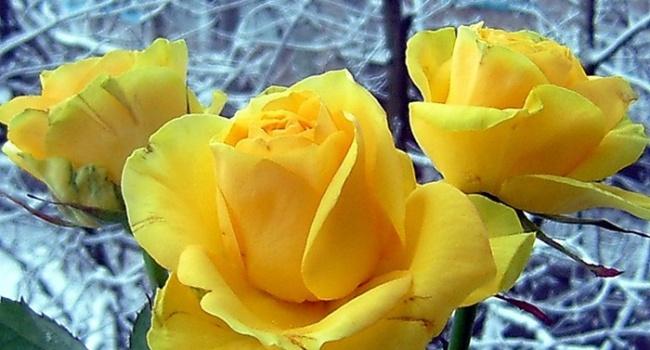 В Сумах расцвели розы