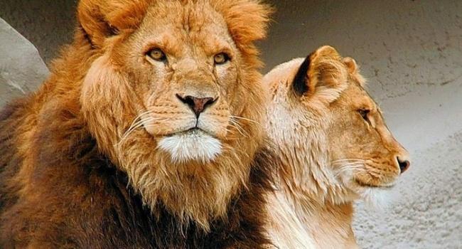 В Африке обнаружены останки огромного льва