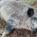 На Донбассе зафиксирована вспышка африканской чумы свиньей