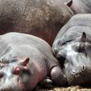 В Замбии уничтожат тысячи бегемотов