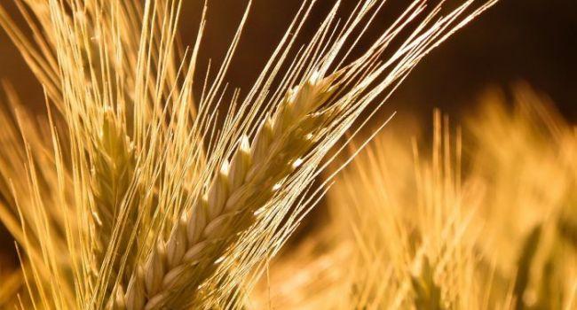 Эксперт прогнозирует 10-процентное уменьшение урожая яровых зерновых