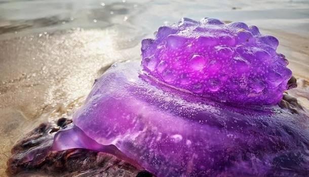 На побережье Австралии обнаружена уникальная медуза