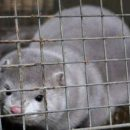 Коронавирус массово поражает животных в Нидерландах