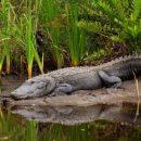 Российский рыбак поймал крокодила в крошечной реке в Подмосковье