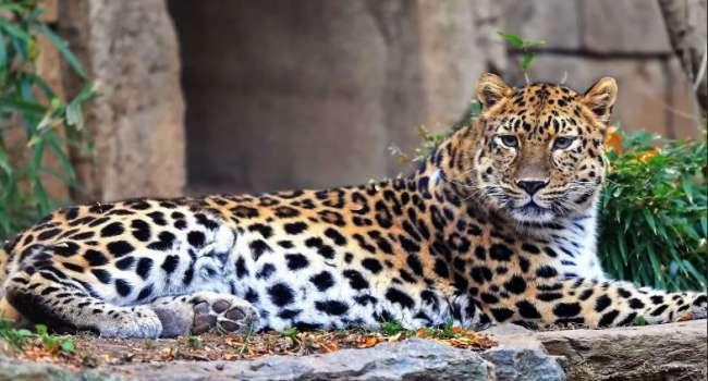 За 9 лет популяция дальневосточных леопардов рекордно увеличилась